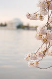 Cherry Blossoms Washington DC Sunrise Royalty Free Stock Photography
