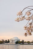 Cherry Blossoms Washington DC Sunrise Stock Photo