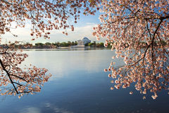 Cherry Blossoms Washington DC Sunrise Stock Image