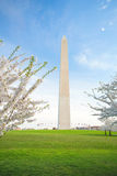 Cherry Blossoms at the Washington Monument in DC Stock Photo