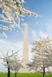 Cherry Blossoms at the Washington Monument in DC Royalty Free Stock Photos