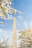 Cherry Blossoms at the Washington Monument in DC Stock Image
