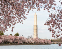 Cherry Blossoms and Washington Monument Stock Photo