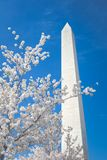 Cherry Blossoms at the Washington Monument Royalty Free Stock Images