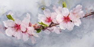 Cherry blossoms: Watercolor style for background. Texture, wrapper pattern, frame or border Royalty Free Stock Photography