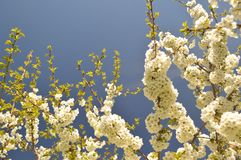 White Cherry Blossoms. Flowering in the springtime Royalty Free Stock Photos
