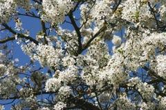 Cherry blossoms 3 Stock Photo