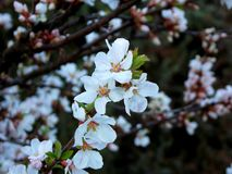 Cherry blossoms. White flowers of bush in the early spring. Cherry blossoms. White flowers of bush in the early spring Stock Images