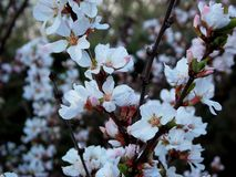 Cherry blossoms. White flowers of bush in the early spring. Cherry blossoms. White flowers of bush in the early spring Stock Photo