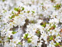 Cherry Blossoms. White Flowers Stock Photography
