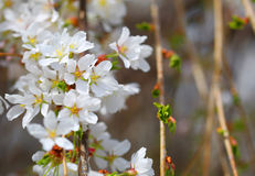 Cherry Blossoms. White Flowers Royalty Free Stock Photography