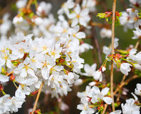 Cherry Blossoms. White Flowers Stock Images
