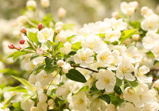Cherry blossoms. White flowers Royalty Free Stock Photos