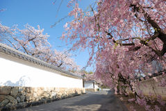 Cherry blossoms and white wall of temple in Kyoto Royalty Free Stock Photos