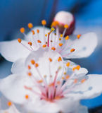 Cherry blossonms. In springtime Stock Images
