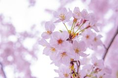 Cherry Blossum Sakura cor-de-rosa, baixa claridade fotografia de stock royalty free