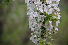 Cherry With Blurs Background blanc de floraison photo stock
