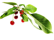 Cherry branch Stock Image