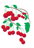 Cherry on a branch Stock Image