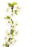 Cherry branch. Isolated on white bacground Stock Images