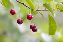 Cherry on branch Stock Photos