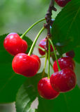 Cherry branch Royalty Free Stock Image