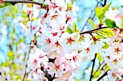 Cherry branch Royalty Free Stock Images
