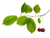 Cherry branch Royalty Free Stock Photo