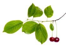 Cherry branch Royalty Free Stock Photo
