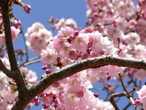 Cherry Branch Stock Images