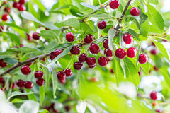 Cherry branch with berries Royalty Free Stock Photography