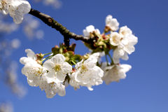 Cherry branch in bloom Stock Image