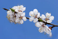 Cherry  branch in bloom Stock Photos