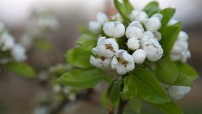 Cherry branch in bloom Stock Images