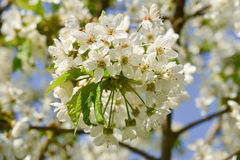 Cherry branch in bloom Stock Photo