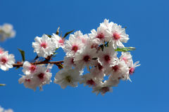 Cherry branch in bloom Royalty Free Stock Images