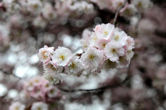 Cherry branch in bloom Royalty Free Stock Photo