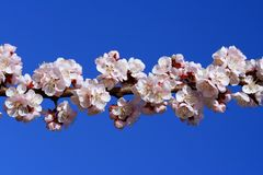 Cherry branch blossom Royalty Free Stock Images