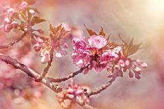 Cherry branch blossom Royalty Free Stock Photography