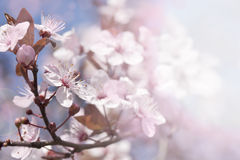 Cherry branch in blossom Stock Photography