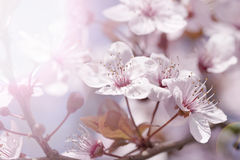 Cherry branch in blossom Stock Image