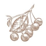 Cherry on the branch. Branch of cherry with fresh berries and leaves stock illustration
