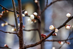 Cherry branch with buds and flowers. On blurred background stock photo