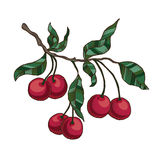 Cherry branch with cherries and leaves. Vector hand drawn cherry branch with cherries and leaves  on the white background Royalty Free Stock Image