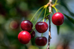 Cherry on a branch close up in summer Royalty Free Stock Images