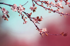 Cherry branch with delicate flowers bloom in early may in the garden Royalty Free Stock Photos