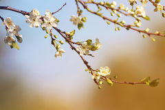 Cherry branch with delicate flowers bloom in early may in the garden Stock Photo