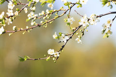 Cherry branch with delicate flowers bloom in early may in the garden Stock Image