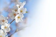 Cherry branch flower branch, blue sky Royalty Free Stock Photography