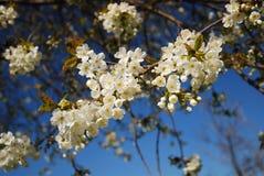 Cherry branch flowering against blue sky. Stock Images